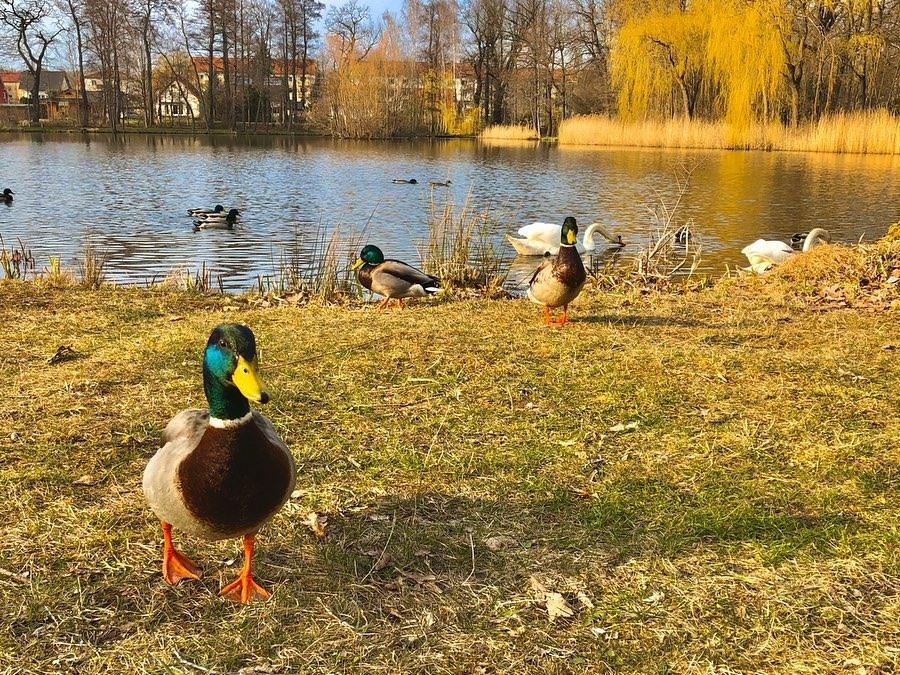 """frühling, westpark, """"pethauer teich"""", ente, schwan, zittau, oberlausitz, """"naturpark zittauer gebirge"""", bilder, fotos,"""